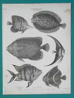 FISHES Ichthyology Genus Flounder & Chaetodon - 1820 A. REES Antique Print