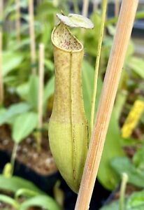 Nepenthes gracilis Green Bicolor, Rooted Cutting