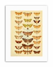 INSECTS MOTHS PLATE Poster Illustration Canvas art Prints