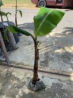 Plantain plant BIG LIVING PLANT