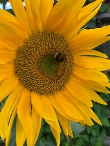 120 Yellow Sunflower Monster Titan Giant Sunflower Seeds 2 - 4 m Real Picture