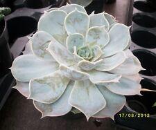 Echeveria lilacina,  Succulent P9