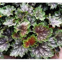 Heuchera Marvelous Marble Seeds Perennial Evergreen Groundcover Sun Shade