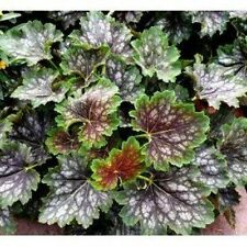 Heuchera Marvelous Marble Seeds Perennial Evergreen Groundcover Sun Shade