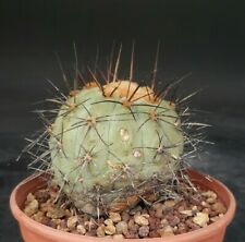 copiapoa haseltoniana gigantea old on roots pot 12cm cactus succulent
