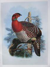 VINTAGE BIRD PRINT ~ BLYTH'S TRAGOPAN ~ JOSEPH WOLF