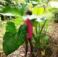 *UNCLE CHAN* a bulb of Xanthosoma sagittifolium Jungle leaves TROPICAL PLANT