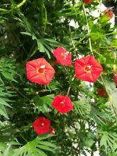 Sternwinde Indianerfeder Quamoclit mina Lobata Kletterpflanze Dauerblüher Samen
