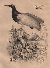BIRDS. Promerops (Sugarbird) 1834 old antique vintage print picture