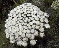 Zahnstocher-Blume: die schöne AMMI-VISNAGA liefert sie