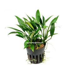 Anubias Congensis Petite Mini - Rare Dwarf Nana Freshwater Live Aquarium Plants