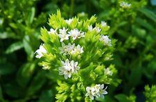 1000 Seeds Stevia Rebaudiana Semils Bonsai Plant House Herb Garden Flower Decor