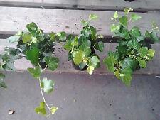 3 x Hedera Outdoor Trailing Green Ivy 8cm Pots