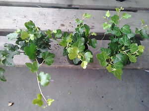 3 x Hedera Outdoor Trailing Green Ivy 8cm Pots !!