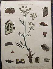 Steinbrech Saxifraga PFLANZEN. Originaler kolorierter Kupferstich 1823