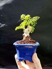 Micro Bonsai pelargonium carnosum - Perfect Bonsai