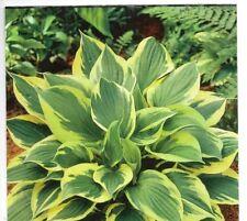 Hosta Clump-forming Perennial Flowers & Plants