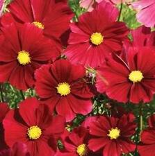 300 Red Dazzler Cosmos Bipinnatus Flower Seeds *Comb Sh