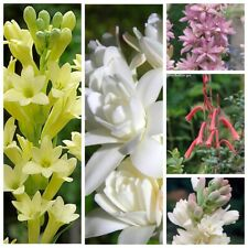 20Pc Polianthes Flower Seeds 5 Kinds Decorative Beautiful Fragrant Garden Plants