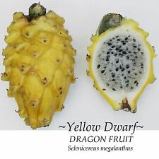 ~YELLOW DWARF~ DRAGON FRUIT Selenicereus megalanthus Pitaya USA!!seller 10 SEEDS