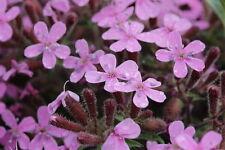 100 Semillas  - Planta Jabonera Rocosa - Saponaria ocymoides - Flores Jardin