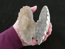 2 FOSSIL SCALLOP SHELLS ALL NATURAL HIDE SPOT/ LOG FOR FISH & SHRIMP LOOKS GREAT