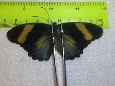 TOG11 A+/ A  Euphaedra phasthusa Forester Papilio
