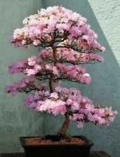 Japanese Bonsai Cherry Tree Seeds *DOUBLE VALUE PACK
