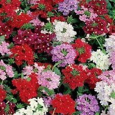 Verbena Hybrida Florist Mix 100  Seeds  Garden Seeds 2u