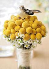 Yellow Billy Buttons 100 seeds *  Craspedia Globosa Flower  CombSH B83