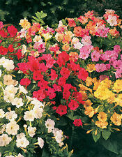 75 Four O Clock Marvel of Peru Mirabilis Mix Mixed Colors Flower Seeds + Gift