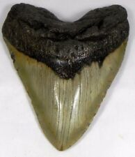 5  3/4 inch Fossil Megalodon Prehistoric Shark Tooth Teeth. Huge Tooth!