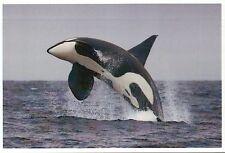 Killer Whale Breaching, Orca Jumping, Mammal, Ocean - Modern Animal Postcard