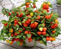 Chinese Lantern Seeds, Heirloom Seeds, Dried Flowers, Eye Catching Blooms, 30ct
