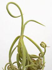 duratii tillandsia airplant. 5 inch tall size. air plant oahu hawaii
