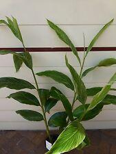 Plants Alpinia Pin Stripe Ginger 200mm pots approx 1.2m hgt $18-ea