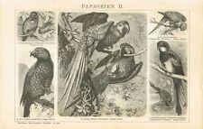 Tafel PAPAGEIEN / KEA / ARARA 1894 Original-Holzstich