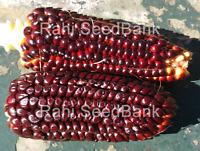 Corn Dakota Chocolate Black - A Rare, Stunning Corn Variety!!! - 5 Seeds