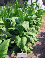 1000 Yellow Gold Tobacco Seeds ~ Heirloom Non-GMO Nicotiana Tabacum