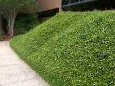 "Asian Jasmine, Trachelospermum asiaticum ""Minima"", TEN plants, vine"