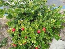 Natalpflaume, Carissa macrocarpa, exóticos frutos comer ahí, 10 semillas, 10 Seeds