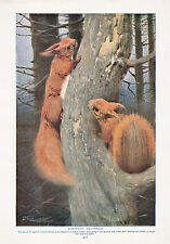 1910 NATURAL HISTORY DOUBLE SIDED PRINT ~ EUROPEAN SQUIRRELS / FLYING SQUIRRELS