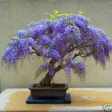 Wisteria Tree Seed Easily Grown Deciduous Small Tree Frost Hardy Bolusanthus sp