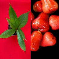Red Malay Apple Syzygium malaccense Fruit Tree Starter Potted Plant