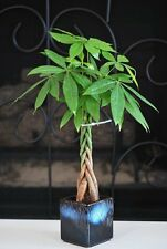 Live Lucky 5 Braided Money Tree Into 1 Pachira with Handmade Ceramic Pot Plants