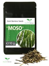 10 G Giant Bamboo Seeds - ca.350 Piece - Moso Bamboo - Winter Hardy