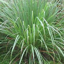 LEMONGRASS 200+ SEEDS LEMON GRASS CYMBOPOGON FLEXUOSUS MOSQUITO REPELLENT USA