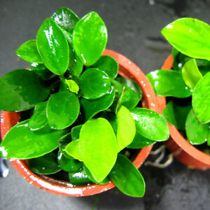 Anubias Petite 25~35 Leaves - Live Aquarium Plants Java Mini Nana Moss Tropical