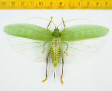 HOPPER/KATYDID - Orthoptera sp - Cameron Highlands - MALAYSIA - 5599