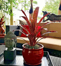 BROMELIAD Billbergia Collection 6 Pack 6 Varieties $35 Off Already LOW Prices!